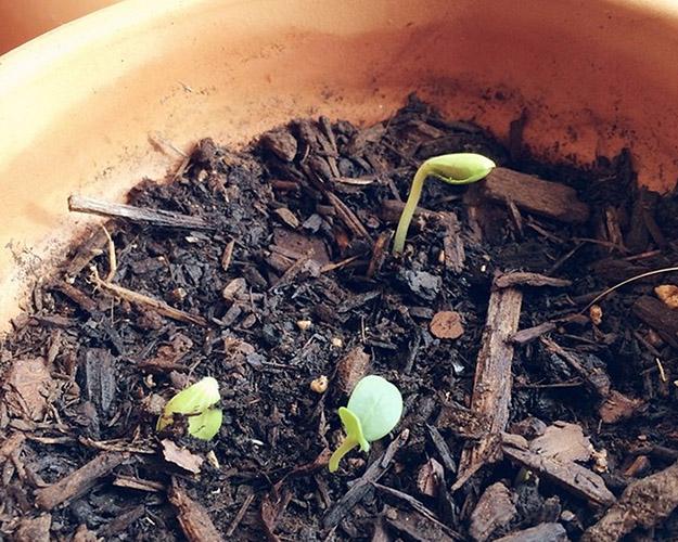 pumpkin seeds4