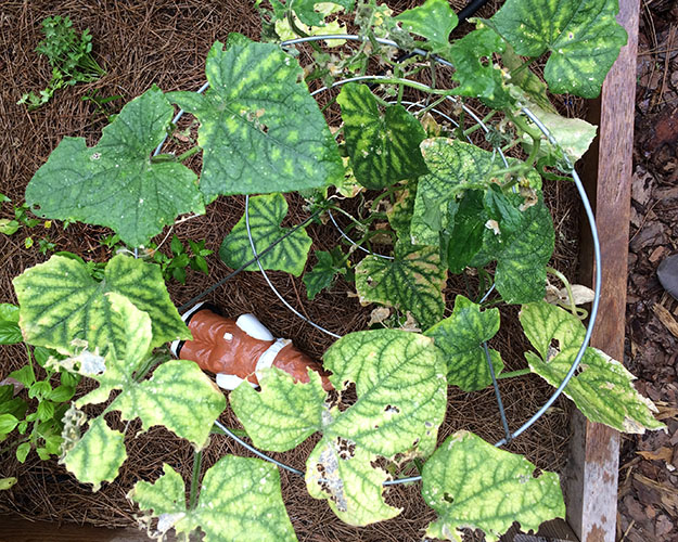 sickcucumbers1